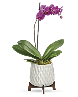Architectural Orchid Plant | Orchids | Same Day Flower Delivery | Multi-Colored | Teleflora