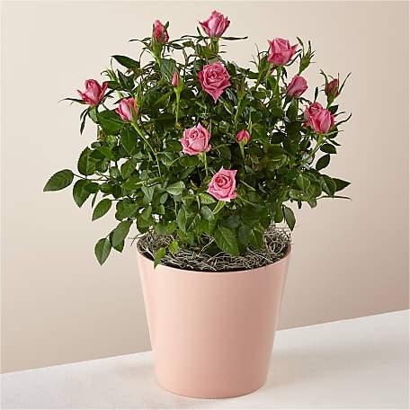 Blush Pink Rose Plant