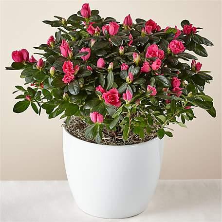Bold & Bursting Pink Azalea Plant