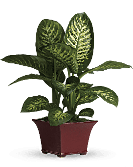 Delightful Dieffenbachia   Mixed Bouquets   Same Day Flower Delivery   Red   Teleflora