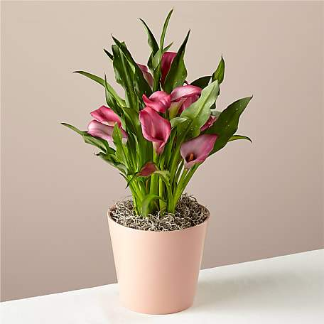 Fresco Pink Calla Lily Plant