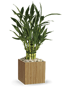 Good Luck Bamboo | Mixed Bouquets | Same Day Flower Delivery | White | Teleflora
