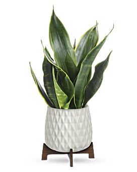 Growing Art Sansevieria Plant | Mixed Bouquets | Same Day Flower Delivery | Multi-Colored | Teleflora