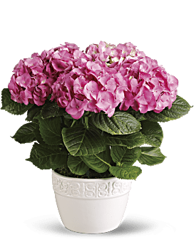 Happy Hydrangea   Hydrangeas   Same Day Flower Delivery   Pink   Teleflora