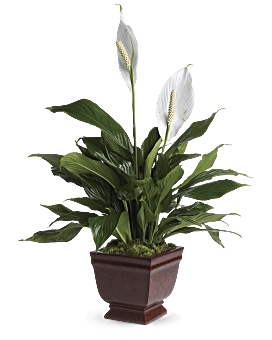 Lovely One Spathiphyllum Plant | Mixed Bouquets | Same Day Flower Delivery | White | Teleflora