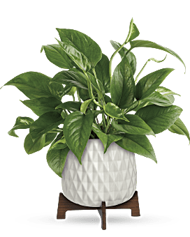 Lush Leaves Pothos Plant   Mixed Bouquets   Same Day Flower Delivery   Green   Teleflora