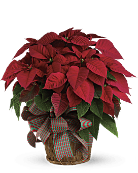 Poinsettia Delivery In Red. Christmas Flower Delivery By Local Florist Same Day