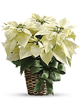 Poinsettia Delivery In White. Flowers for Christmas Delivered By Local Teleflora Florist Same Day.
