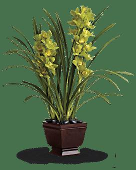 Splendid Orchids   Same Day Flower Delivery   Green   Teleflora