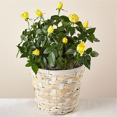 Sun Burst Yellow Rose Plant